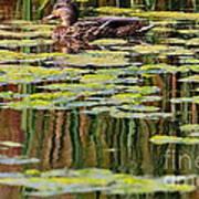 Mallard Pond Art Print