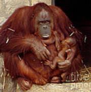 Mama N Baby Orangutan - 54 Art Print