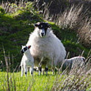 Mama Sheep And Her Two Lambs Art Print