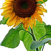 Mammoth Sunflower Art Print