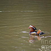 Mandarin Duck 20130507_47 Art Print