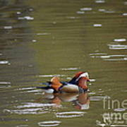 Mandarin Duck 20130507_99  Art Print