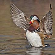 Mandarin Duck Flapping Away Art Print