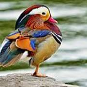 Mandarin Duck Posing Art Print