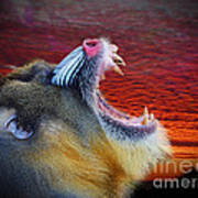 Mandrill Roaring At The End Of A Day  Art Print