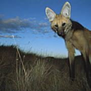 Maned Wolf Hunting At Dusk Brazil Art Print