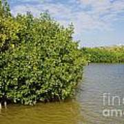 Mangrove Fores Art Print by Carol Ailles