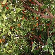 Many Orange On Tree Art Print