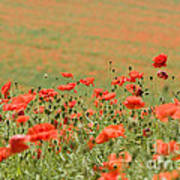Many Poppies Art Print