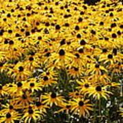 Many Yellow Blooms Art Print