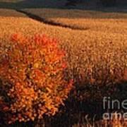 Maple And Cornfield At Dawn Art Print