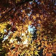 Maple In Fall Art Print