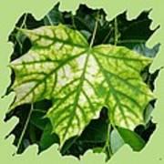 Maple Leaf In The Laurel Art Print