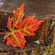 Maple Leaf On Oak Stump Art Print