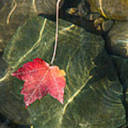 Maple Leaf On Water Art Print