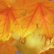 Maple Leaves (acer Saccharum) Art Print