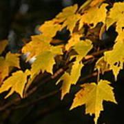 Maple Leaves - B Art Print