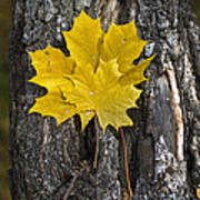 Maple-leaves Art Print