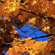 Maple Tree In Autumn Art Print