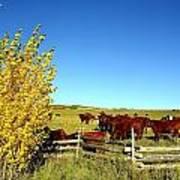 Marabou Cattle Herd Art Print