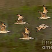 Marbled Godwit Flock Flying Art Print