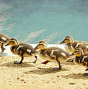 March Of The Ducklings Print by Fraida Gutovich