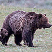 Marching Mama Grizzly And Cub  Art Print