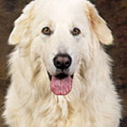 Maremma Sheepdog Art Print