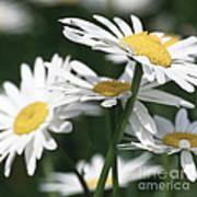 Marguerite Blossom Art Print