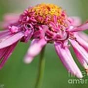 Marguerite Daisy Named Summer Song Rose Art Print