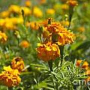 Marigold Flowers Art Print