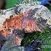 Marine Iguana Eating Green Seaweed Art Print