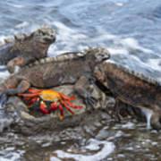 Marine Iguana Trio And Sally Lightfoot Art Print
