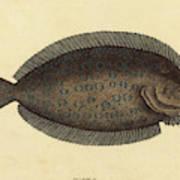 Mark Catesby English, 1679 - 1749, The Sole Pleuronectes Art Print