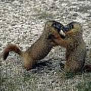 4m09150-02-marmot Fight Art Print