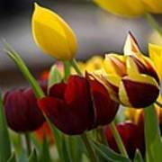 Maroon And Gold Tulips Art Print