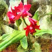 Maroon Cattleya Orchids Art Print