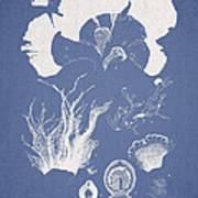 Martensia Elegans Hering Art Print by Aged Pixel