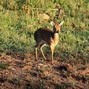 Masai Mara Dikdik Deer Art Print