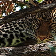 Masai Mara Leopard  Art Print