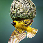 Masked Weaver At Nest Art Print by Johan Swanepoel
