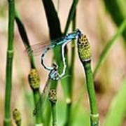 Mating Dragonflies Art Print