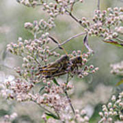 Mating Grasshoppers Art Print