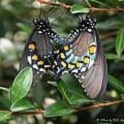 Mating Swallowtails Art Print