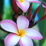 Maui Plumeria Art Print by Kathy Yates
