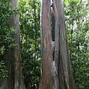 Maui Trees Art Print