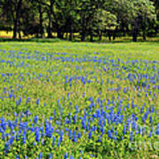 Meadows Of Blue And Yellow. Texas Wildflowers Art Print