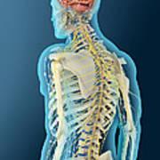 Medical Illustration Of Human Brain Art Print