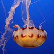 Medusa Jellyfish  Art Print