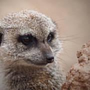 Meerkat 7 Art Print